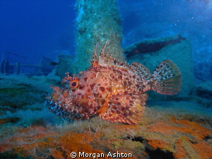 Scorpion Fish in Kas, Turkey. by Morgan Ashton 
